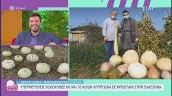 Υπερμεγέθεις κολοκύθες 60 και 70 κιλών φύτρωσαν σε μποστάνι στην Ελασσόνα