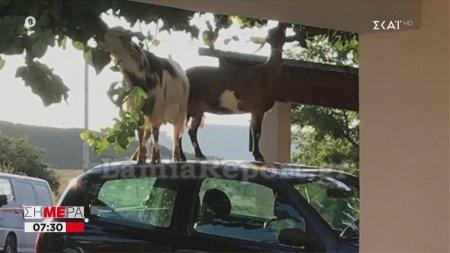 Οι κατσίκες βρήκαν τρόπο να φτάσουν τα μούρα | 01/07/2020